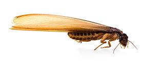 termite-swarmer