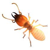 dampwood termite.jpg