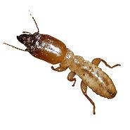 termites-termite.jpg