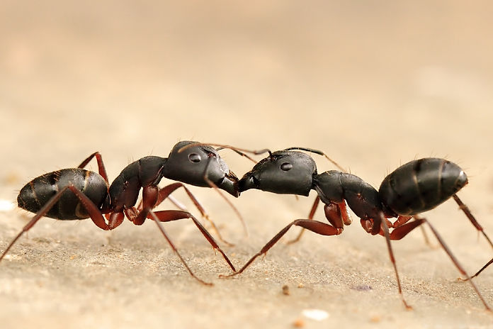 picture-of-ants