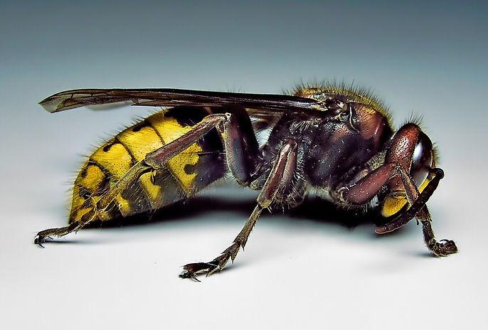 wasp-hornet-yellow-jacket