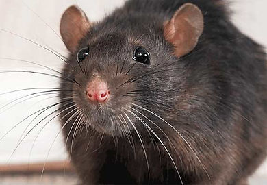 mice-rat-rodent-picture.jpg