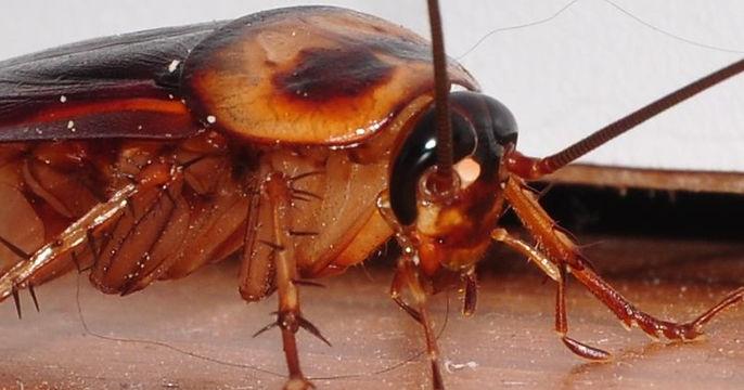 big-roach-cockroach