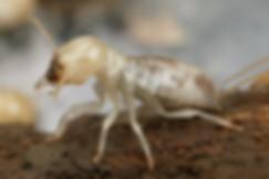 CSIRO_ScienceImage_3915_Mastotermes_darw