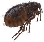 flea exterminator irvine ca.jpg