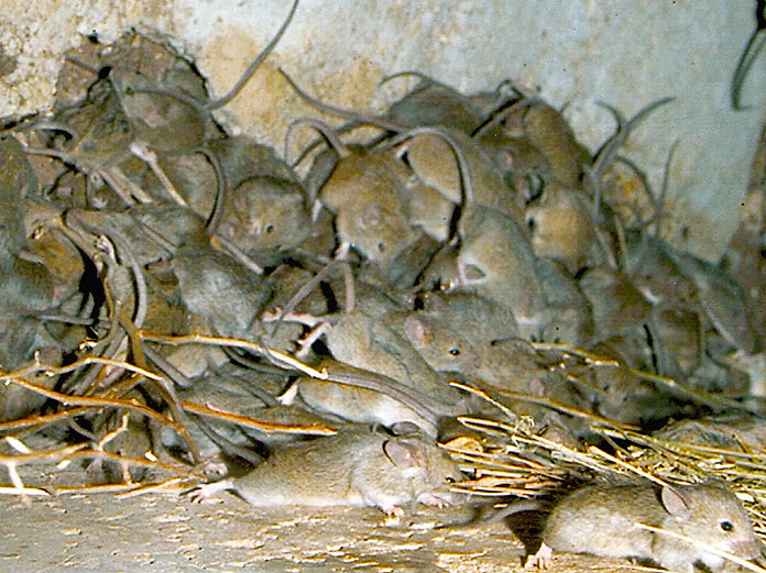 rat-and-rodent-infestation-sign