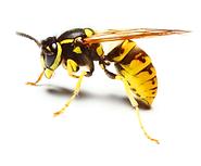wasps-hornets-yellow-jacket