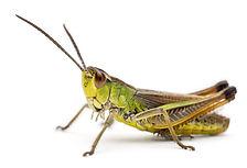 grasshopper-cricket