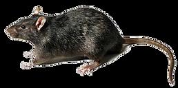 rodent-rat-mouse