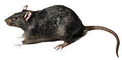 mice-rat-rodents.jpg