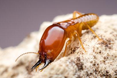 picture-of-common-termite-nest-area