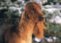 Analainn Irish Setters