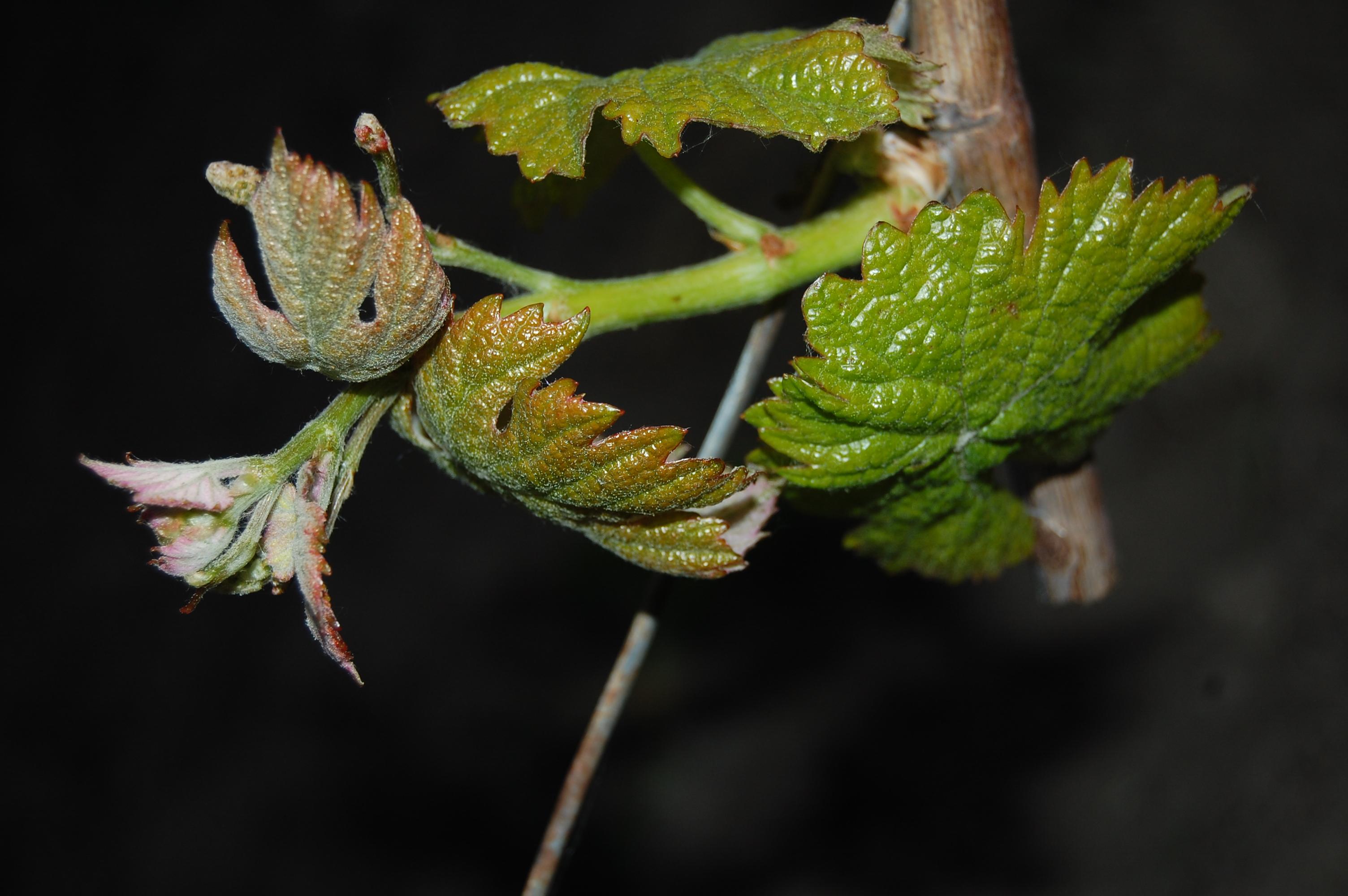 Jeunes pousses de vigne