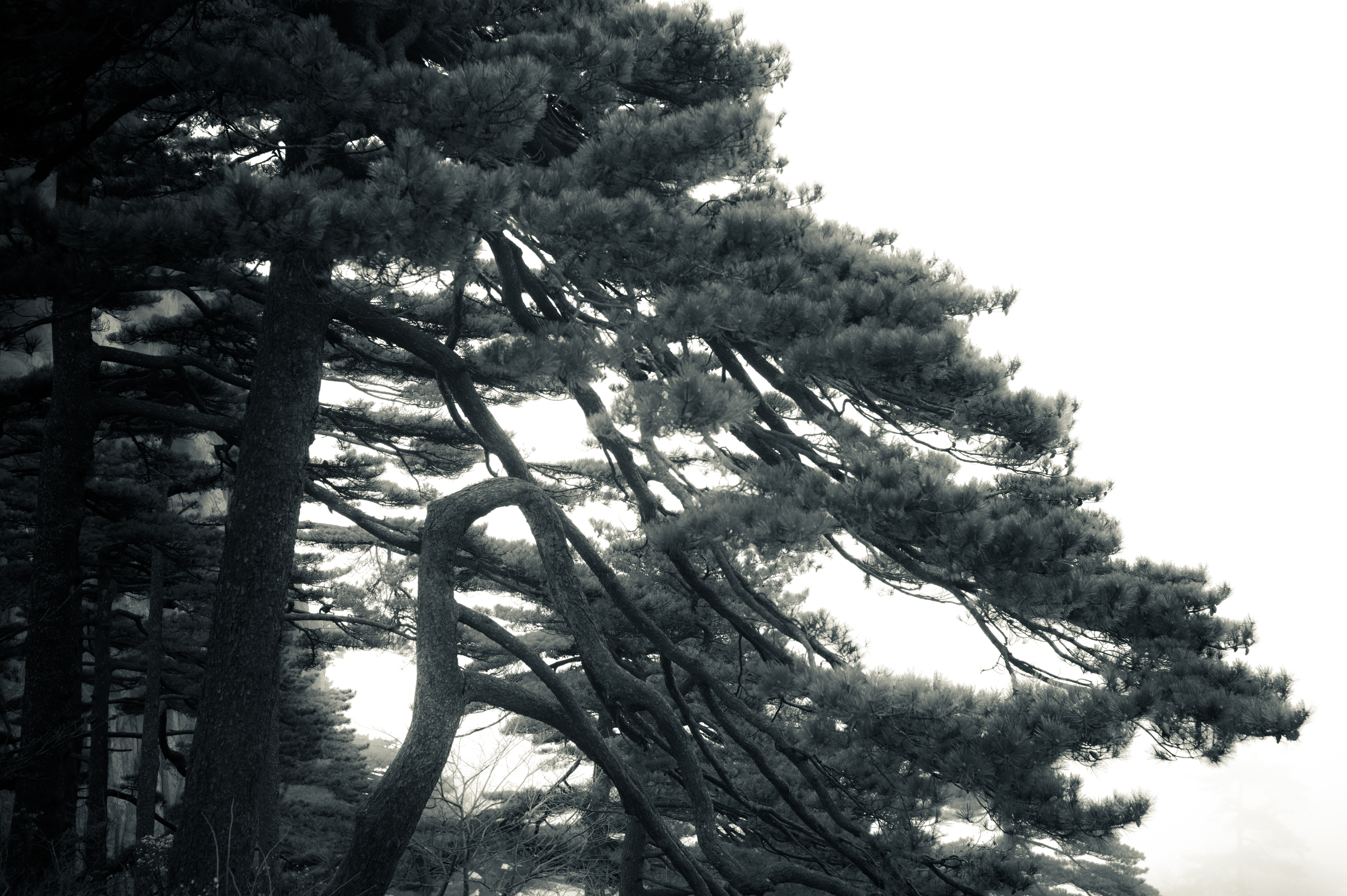 Flickr - Pine Trees (19) - Huangshan, China
