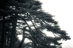 Flickr - Pine Trees (19) - Huangshan, China
