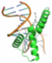 The graphic shows a protein that is used by the research group headed by Prof. Dr. med. Clemens Steegborn has identified as Sirt1 substrate. It is a DNA binding protein, the DNA is orange. The deacetylation site is the single gray strand on the top right. Graphic: Prof. Dr. med. Clemens Steegborn; free for publication.