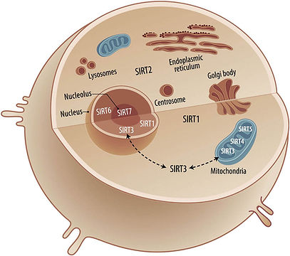 Sirtuins subcellular localization: SIRT1 is predominantly located in the nucleus, and also in the cytosol. SIRT2 is localized in the cytosol. SIRT3, SIRT4, and SIRT5 are mitochondrial proteins, but SIRT3 may also be found in the nucleus and cytosol under different cellular events. SIRT6 and SIRT7 are localized in the nucleus and nucleolus, respectively.