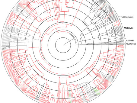 A proposed phylogenetic history of muscarine and psilocybin producing mushrooms