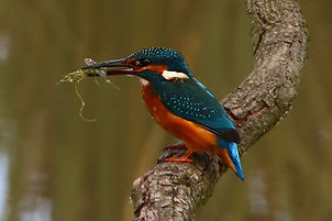 nature bird kingfisher photography photographer Stroud