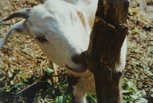 A Goat Called Progress