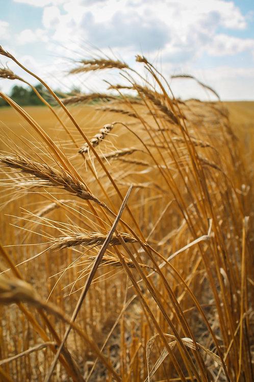"""Missed Wheat"""