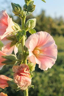 Blush Pink Hollyhock