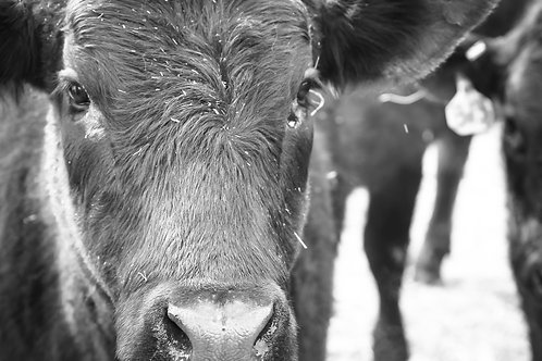 """Curious Cow"""