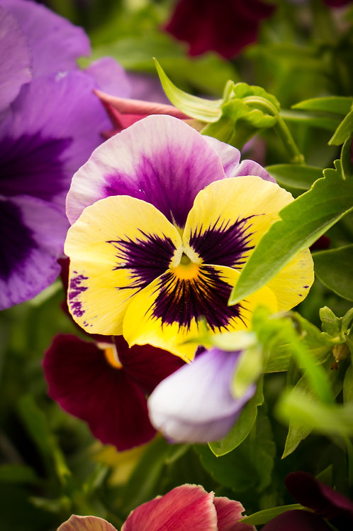 """Yellow Pansy"""