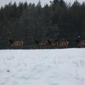 2016 Elk in meadow-1.JPG
