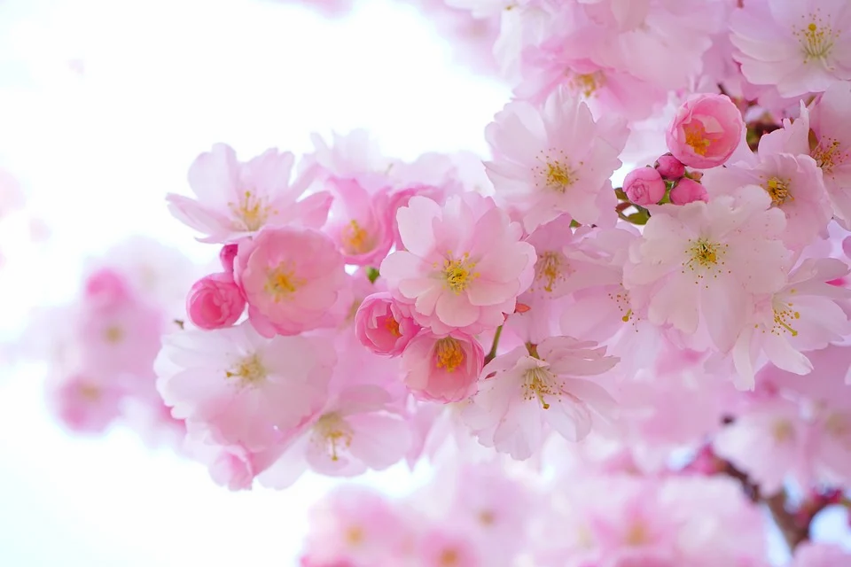 japanese-cherry-trees-324175_960_720.web