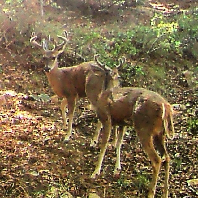Coues bucks