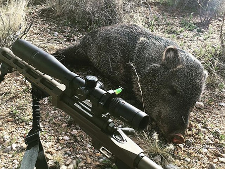 Javelina - Springtime Fun in the Desert