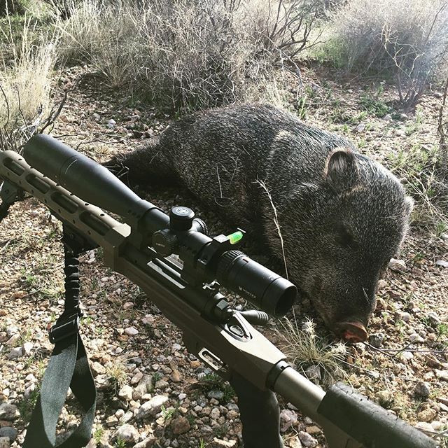 Rifle hunting Javelina