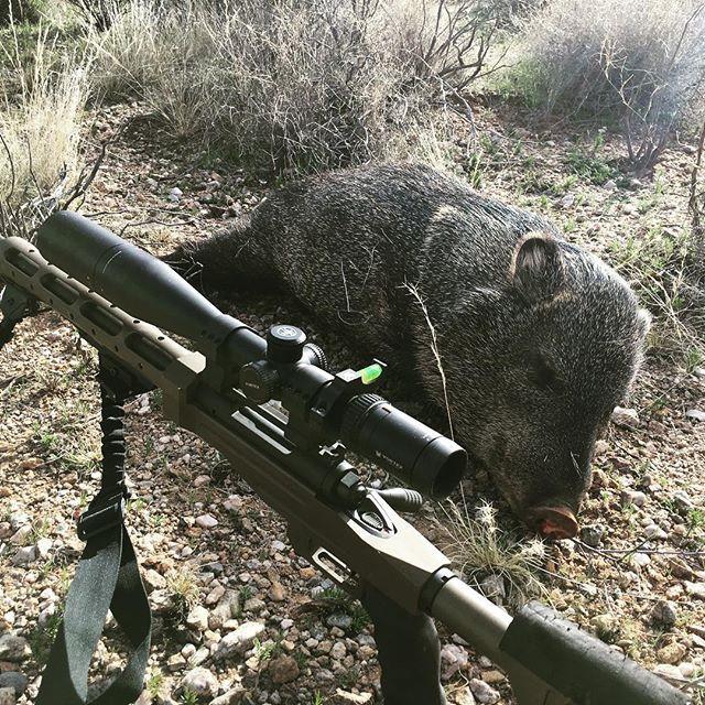 Rifle hunting Javelina