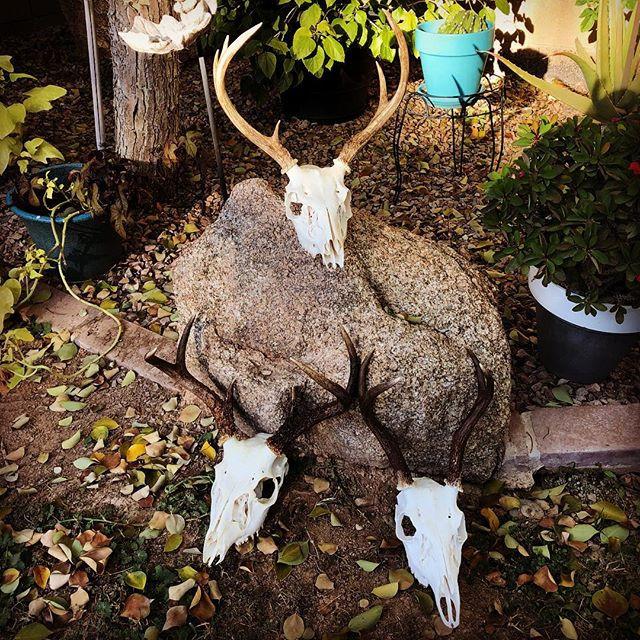 Coues Deer Bucks Arizona Unit 22