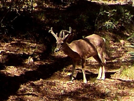 Arizona - Unit 22 Coues Deer Updated 2020! - by Arizona DIY Hunts