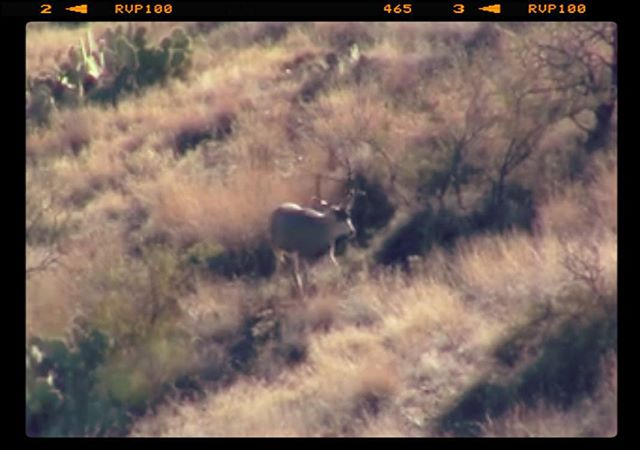 Muley buck I saw yesterday