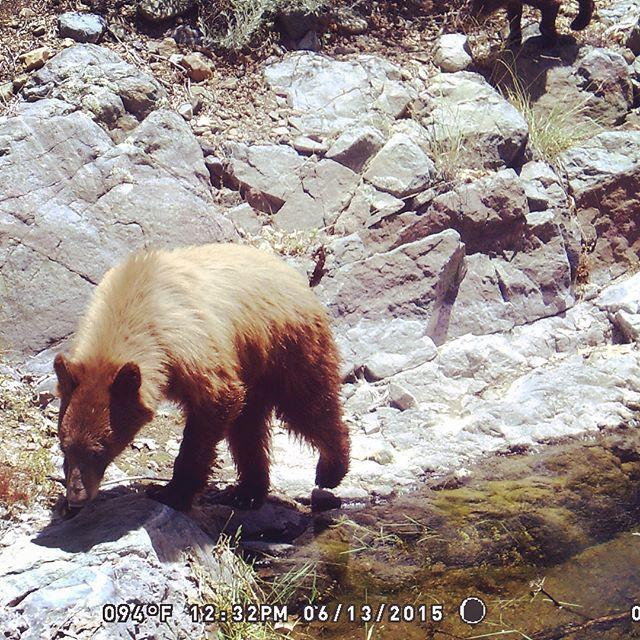 cinnamon colored bear unit 22 arizona