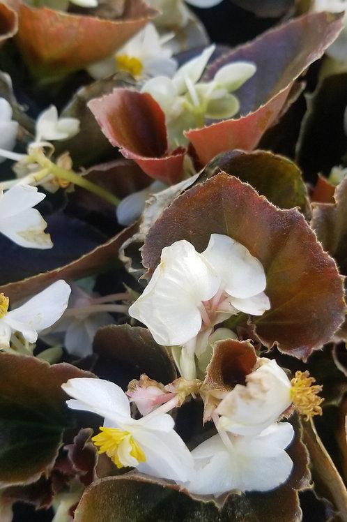 Begonia Bronze Leaf Jumbo 6 pack -Sun