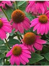 """Echinacea/Cone Flower 8""""/Squat Pot"""
