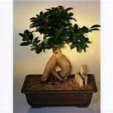 """Bonsai Exotic 6""""x8"""" Houseplant"""