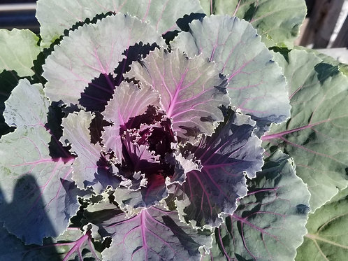 "Ornamental Cabbage-  8""/1Gal pot"