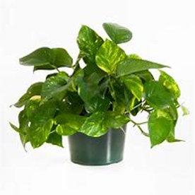 """Pothos Ivy 6"""" Pot Houseplant"""