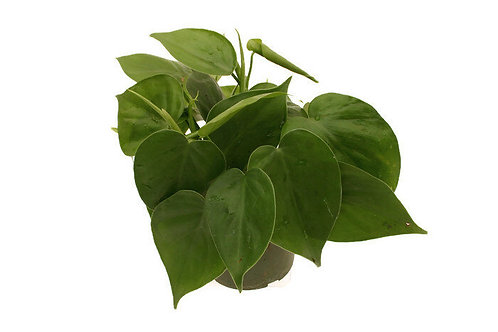 "Tropical Foliage 3"" Asst"