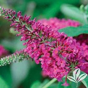 Butterfly Bush 2 Gal