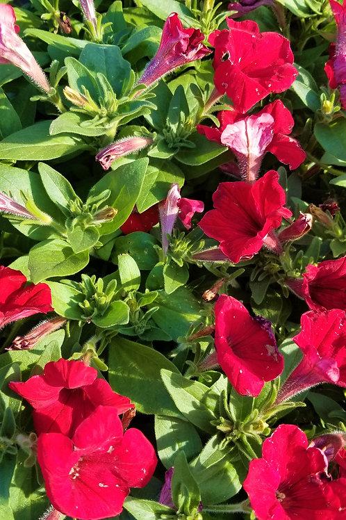 "Petunia Flora Annual 4"" Pot or 4-Pack-Sun"