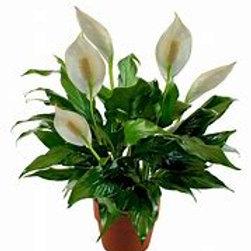 "Peace Lily 6"" Houseplant"