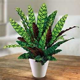 "Calathea Lancifolia 6""Grower pot Houseplant"