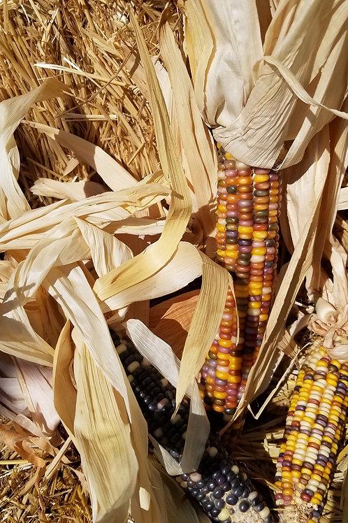 Indian Corn Large