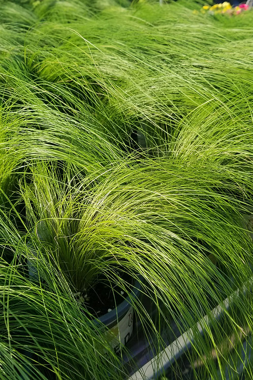 "Mexican Feather Grass 4.5""/Quart"